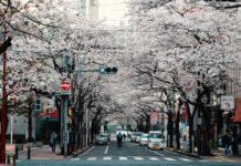 Cerejeiras hanami